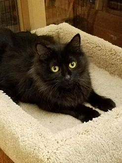 Domestic Mediumhair Cat for adoption in Plainfield, Illinois - Lola