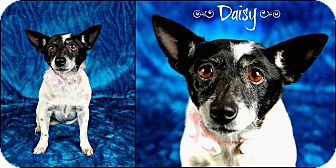 Chihuahua/Jack Russell Terrier Mix Dog for adoption in Jackson, Mississippi - Daisy