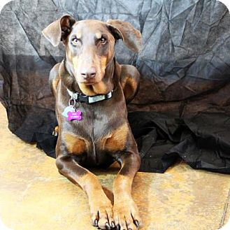 Doberman Pinscher Mix Dog for adoption in Denver, Colorado - Lilah