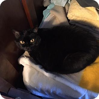 Bombay Cat for adoption in Denver, Colorado - Schatten