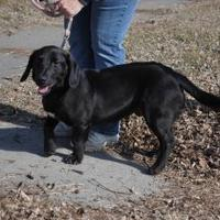 Adopt A Pet :: Ryder (Denver) - Red Oak, IA
