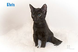 Domestic Shorthair Kitten for adoption in San Juan Capistrano, California - Elvis