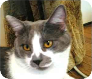 Domestic Shorthair Cat for adoption in Portland, Oregon - Irving (w/Amber)