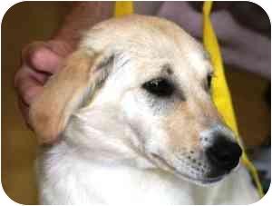 Labrador Retriever/Golden Retriever Mix Dog for adoption in Osseo, Minnesota - Hope