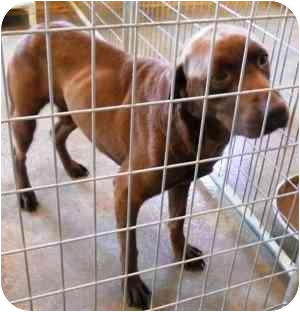 Labrador Retriever Mix Dog for adoption in Guelph, Ontario - Kenny - URGENT