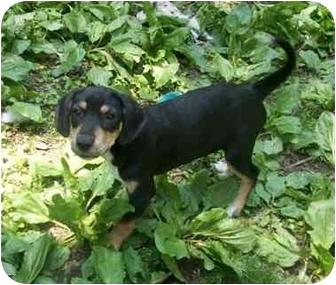 Plott Hound/Coonhound Mix Puppy for adoption in south plainfield, New Jersey - Ivy