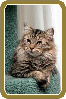 Domestic Mediumhair Cat for adoption in Sterling Heights, Michigan - Safari - ADOPTED!