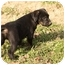 Photo 2 - Labrador Retriever Mix Puppy for adoption in Cranford, New Jersey - Paul