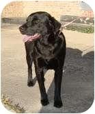 Labrador Retriever Mix Dog for adoption in Staunton, Virginia - Behr