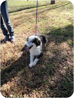Australian Shepherd Dog for adoption in San Angelo, Texas - Jaz