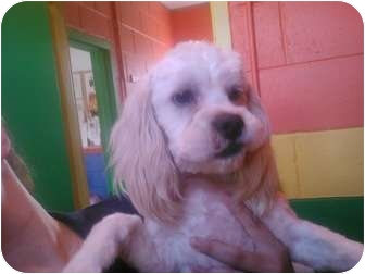 Lhasa Apso/Cocker Spaniel Mix Dog for adoption in BLACKWELL, Oklahoma - Charles