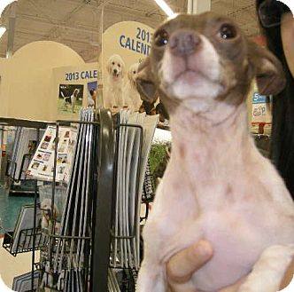 Chihuahua Mix Dog for adoption in Las Vegas, Nevada - Ewing