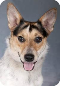 Cattle Dog Dog for adoption in Chicago, Illinois - Mrs. Beasley