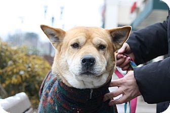 Shiba Inu/Shepherd (Unknown Type) Mix Dog for adoption in North Wales, Pennsylvania - Twiggs