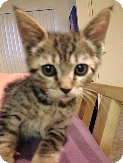 Domestic Shorthair Kitten for adoption in Fountain Hills, Arizona - TAFFY