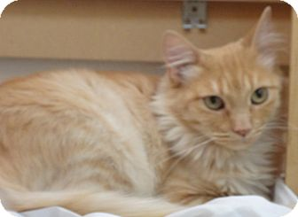 Domestic Mediumhair Cat for adoption in Escondido, California - Marmalade