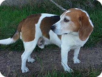 Beagle Mix Dog for adoption in Phoenix, Arizona - Buddy Guy
