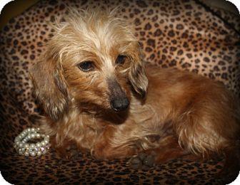 Dachshund Dog for adoption in Greenville, South Carolina - Simone