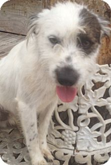Terrier (Unknown Type, Small) Mix Dog for adoption in East Hartford, Connecticut - Finnegan-meet me 8/15