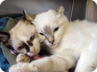 Siamese Kitten for adoption in Mission Viejo, California - Chuckles