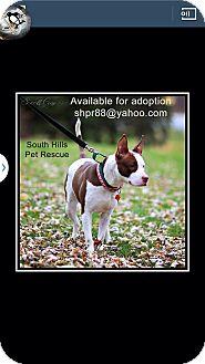 American Pit Bull Terrier Mix Dog for adoption in South Park, Pennsylvania - Brandi