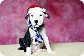 American Staffordshire Terrier Mix Puppy for adoption in Houston, Texas - Fred