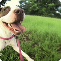 Adopt A Pet :: Amber - Houston, TX
