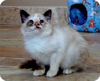 Himalayan Kitten for adoption in Lenexa, Kansas - Holly