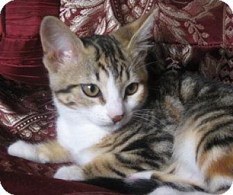 Domestic Shorthair Kitten for adoption in Oakland, California - Red Robin