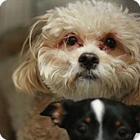 Adopt A Pet :: BoBo - Bichonpoo! - Canoga Park, CA
