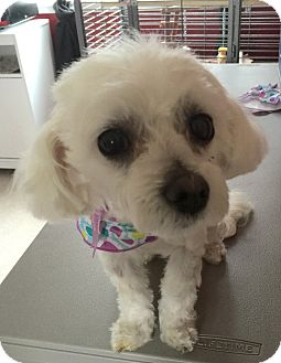 Maltese Mix Dog for adoption in Los Angeles, California - Pearl