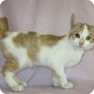 Domestic Shorthair Kitten for adoption in Powell, Ohio - Phoenix