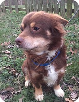 Pomeranian Mix Dog for adoption in Waldorf, Maryland - Brownie