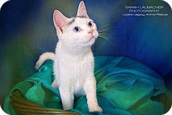 Domestic Shorthair Cat for adoption in Cincinnati, Ohio - Kenzie