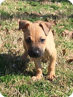 Boxer Mix Puppy for adoption in Allentown, Pennsylvania - Soot (ETAA)