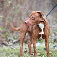 American Pit Bull Terrier Mix Dog for adoption in Louisville, Illinois - Jersi