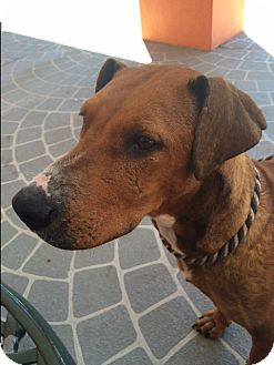 Redbone Coonhound Mix Dog for adoption in Dallas, Texas - Holly