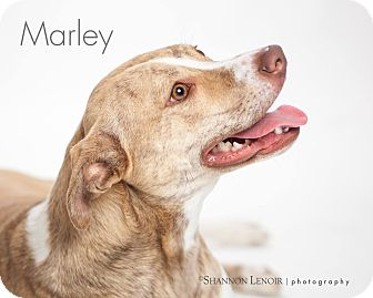 American Staffordshire Terrier/Shar Pei Mix Dog for adoption in Eden Prairie, Minnesota - Marley