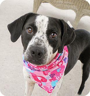 Pointer/Bluetick Coonhound Mix Dog for adoption in Umatilla, Florida - Maddie