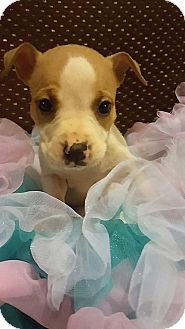 Pit Bull Terrier Mix Puppy for adoption in Florence, Kentucky - Blondie