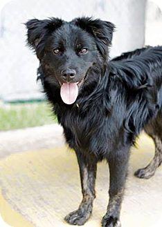 Sheltie, Shetland Sheepdog Mix Dog for adoption in Calgary, Alberta - RAVEN