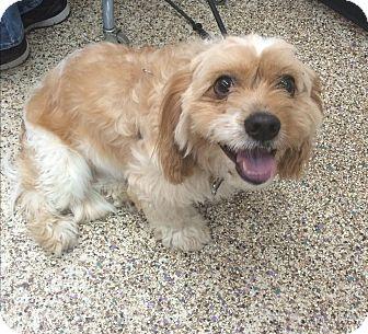 King Charles Spaniel/Maltese Mix Dog for adoption in Thousand Oaks, California - Benny