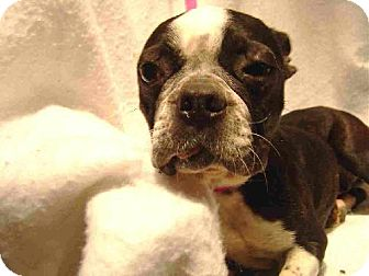 Boston Terrier Dog for adoption in Texarkana, Texas - Millie ADOPTED AR