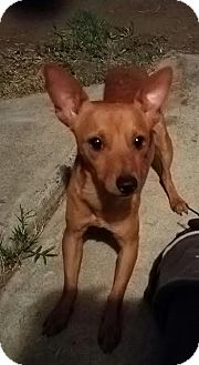 Miniature Pinscher Mix Dog for adoption in Fullerton, California - Rusty