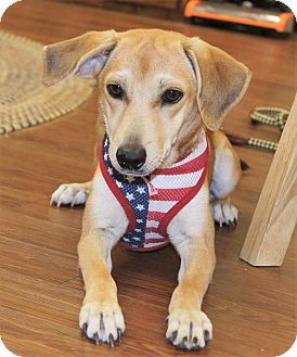 Labrador Retriever/Retriever (Unknown Type) Mix Dog for adoption in Saratoga Springs, New York - Cheyenne ~ ADOPTED!