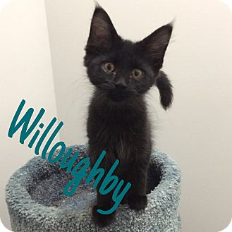 Domestic Mediumhair Cat for adoption in St. Louis, Missouri - Willoughby