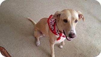 Labrador Retriever/Rhodesian Ridgeback Mix Dog for adoption in Olympia, Washington - Princess Bella