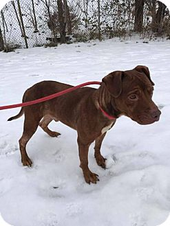 Terrier (Unknown Type, Medium)/American Pit Bull Terrier Mix Dog for adoption in Fulton, Missouri - Madden- Ohio