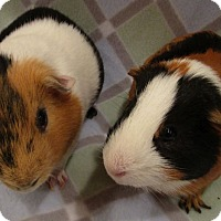 Adopt A Pet :: Piggly (s) - Highland, IN