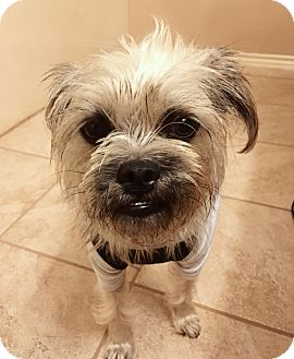 Brussels Griffon Mix Puppy for adoption in San Antonio, Texas - Petunia